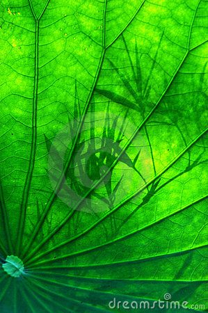 The lotus leave