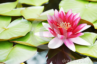 Lotus lily flower in water
