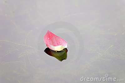 Lotus petal over water