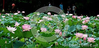 Lotus pond landscape
