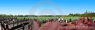 Lotus pond panoramic Editorial Stock Photo