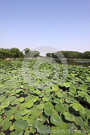 Lotus pond in a park