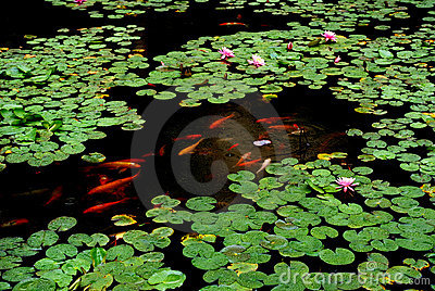 Lotus pond in the rain