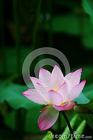 Lotus after rain
