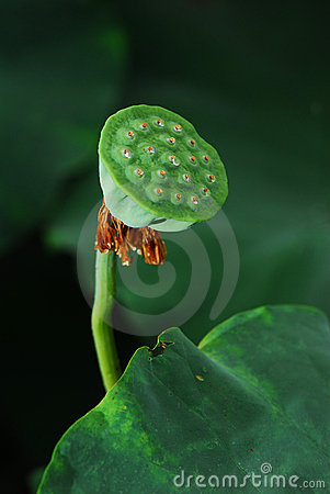 Lotus Seed Stock Photos - Image: 20263833