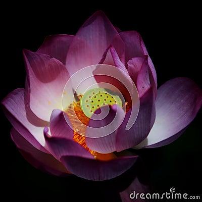 Lotus under sunshine