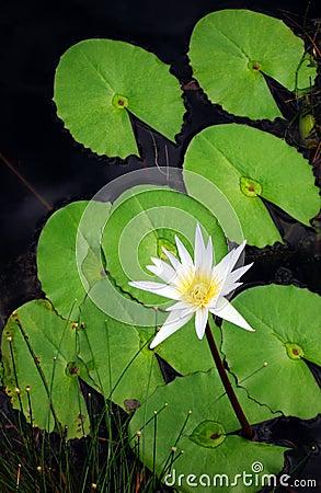 Free Lotus Water Lily Flower Stock Photos - 5911623