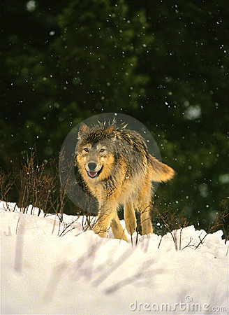 Loup en hiver