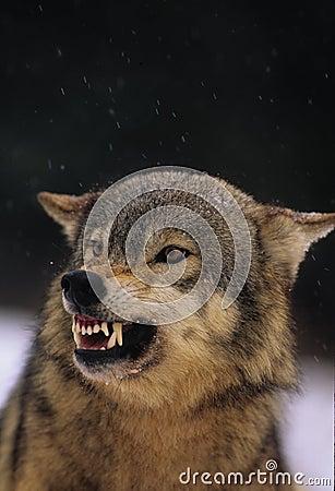 Loup gris de grondement