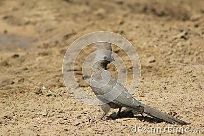 Lourie, Grey - Bird of Calls