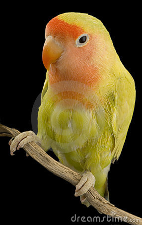 Free Love Bird Stock Photos - 2331163