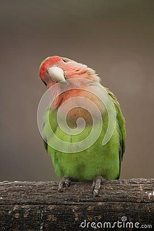 Free Love Bird Royalty Free Stock Photo - 32472435