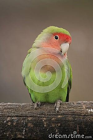 Free Love Bird Stock Image - 32472501