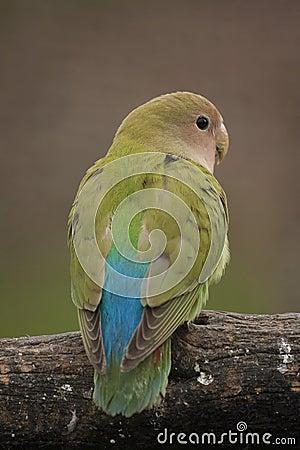 Free Love Bird Stock Photos - 32472543