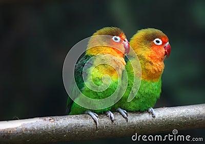 Love birds , Agopornis fischeri
