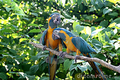 Love Birds - Macaws