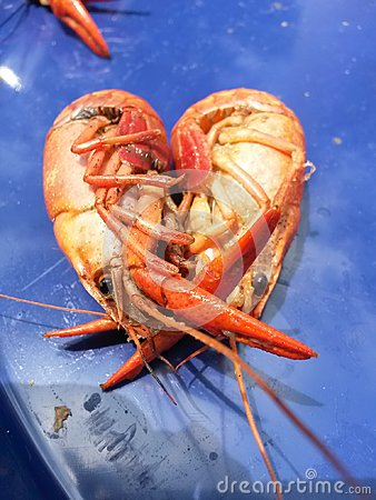 Crayfish Dissection Heart