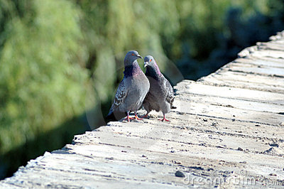 Love games of pigeons on a parapet