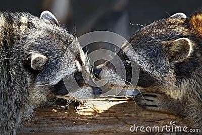 Love games of raccoons