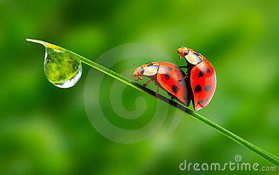 Love-making ladybugs couple.
