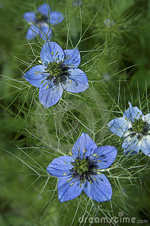 Loveinamist Flowers on Sign Up And Download This Love In A Mist Image For As Low As  0 20 For