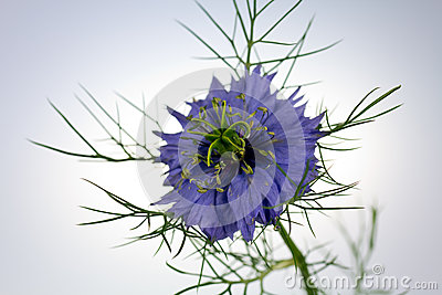 Love-in-a-mist flower (Nigella damascena)