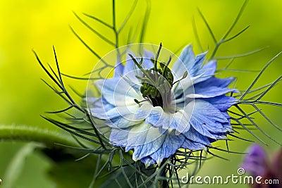 Love-in-a-mist flower  Nigella damascena