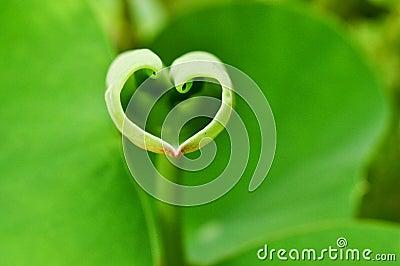 Love shape lotus leaf
