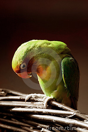 Lovebird bowing its head