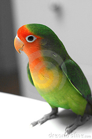 Lovebird with BW background