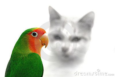 Lovebird and cat danger