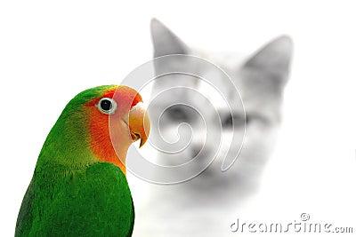 Lovebird and cat danger