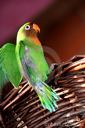 Lovebird flapping its wings