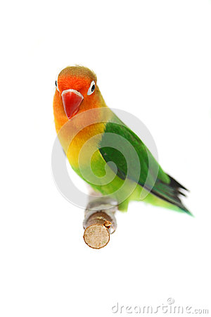 Lovebird Isolated On White Agapornis Fischeri Stock Photos - Image: 27199343