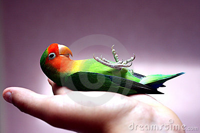 Lovebird on its back