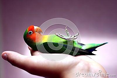 Lovebird on its back
