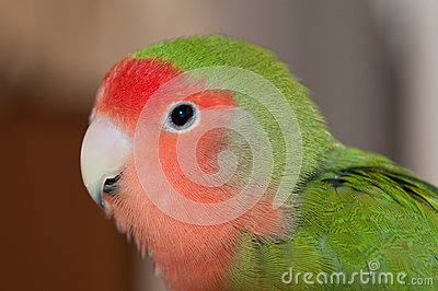 A lovebird looking into the lens