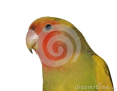 Lovebird, rosy faced lovebird,  isolated on white