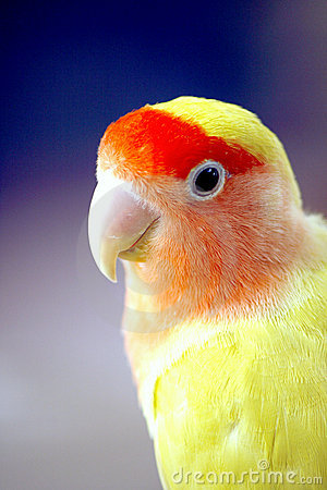 Lovebird yellow