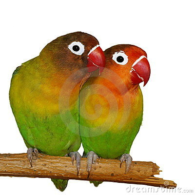 Lovebirds isolated on white Agapornis fischeri