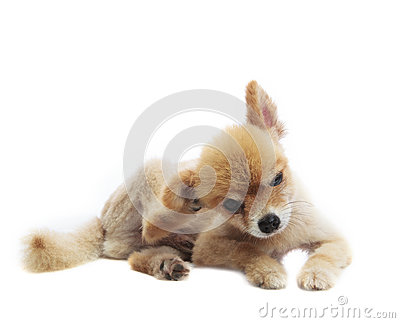 Lovely acting of pomeranian puppy dog isolated whtie background