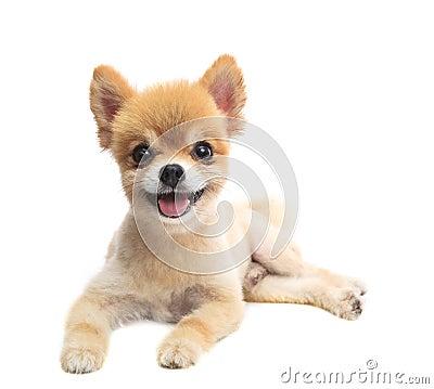 Lovely acting of pomeranian puppy dog isolated whtie background