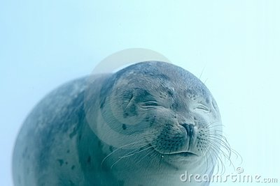 Lovely baby seal with closed eyes is smiling under water