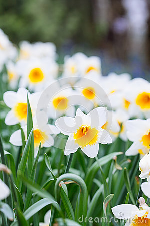 Free Lovely Field With Bright Yellow And  White Daffodils Narcissus Royalty Free Stock Photos - 89634358