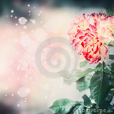 Free Lovely Floral Nature Background With Unusual Red Yellow Rose And Bokeh Lighting Stock Photography - 92442262