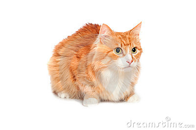 Lovely fluffy red cat. Isolated