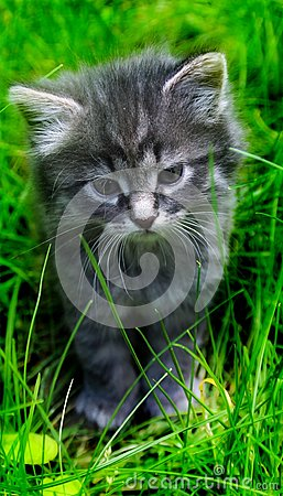 Free Lovely Gray Kitten In The Grass. Royalty Free Stock Photos - 103983778
