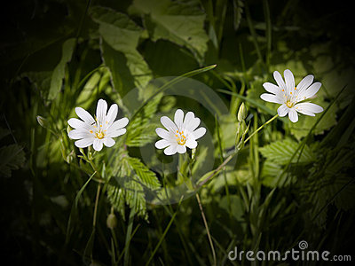 The Lovely Greater Stitchwort