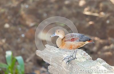 Lovely Lesser Whistling-Duck