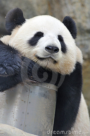 Lovely Panda Stock Image - Image: 19186191